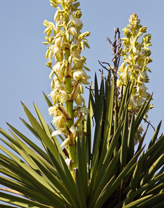 Yucca Constricta in bloom